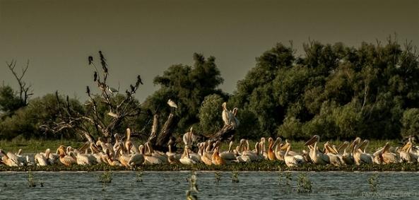 Colonie de pelicani pe lacul Tătaru